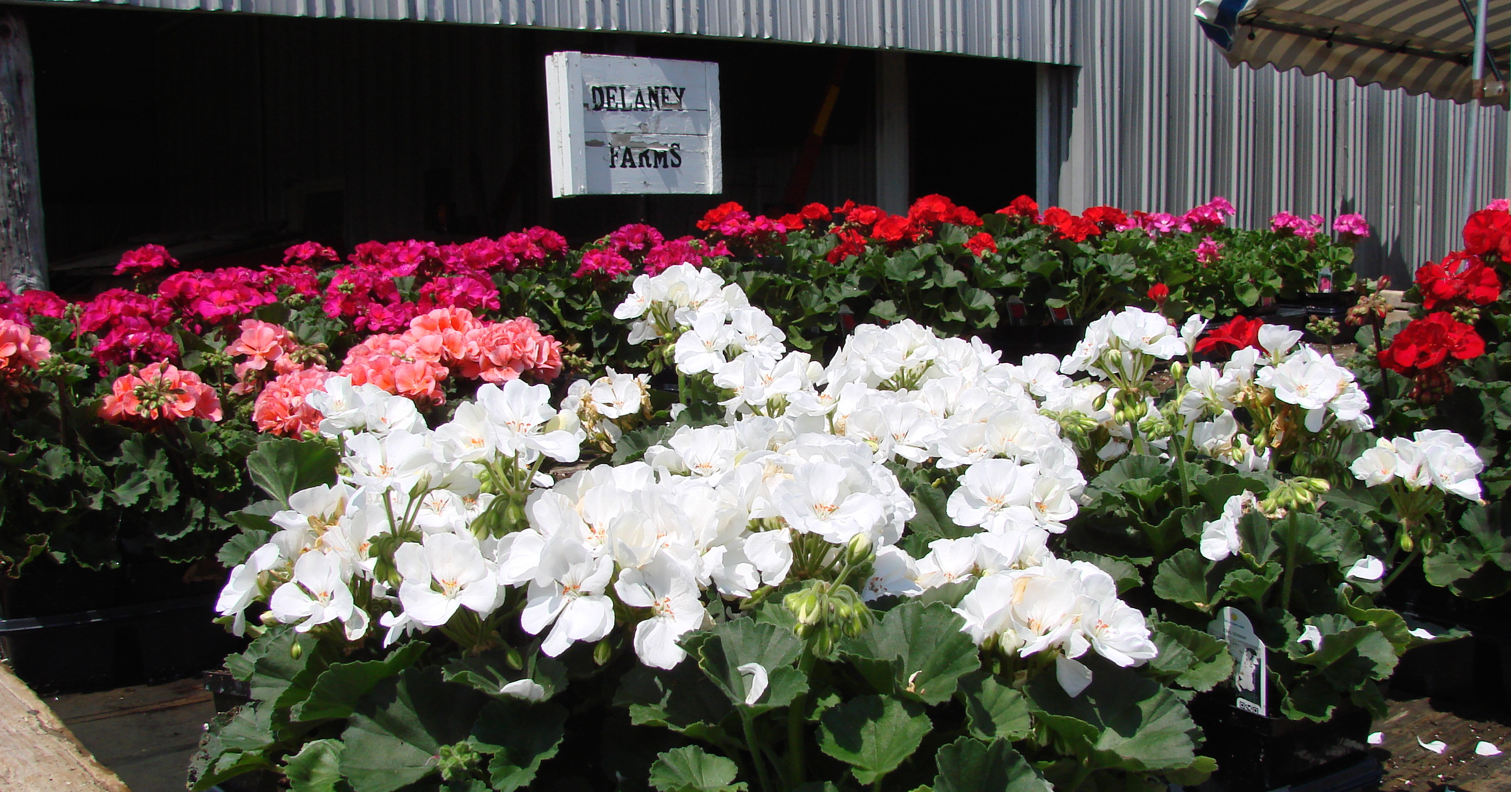 fresh-flowers-delaneys-farms