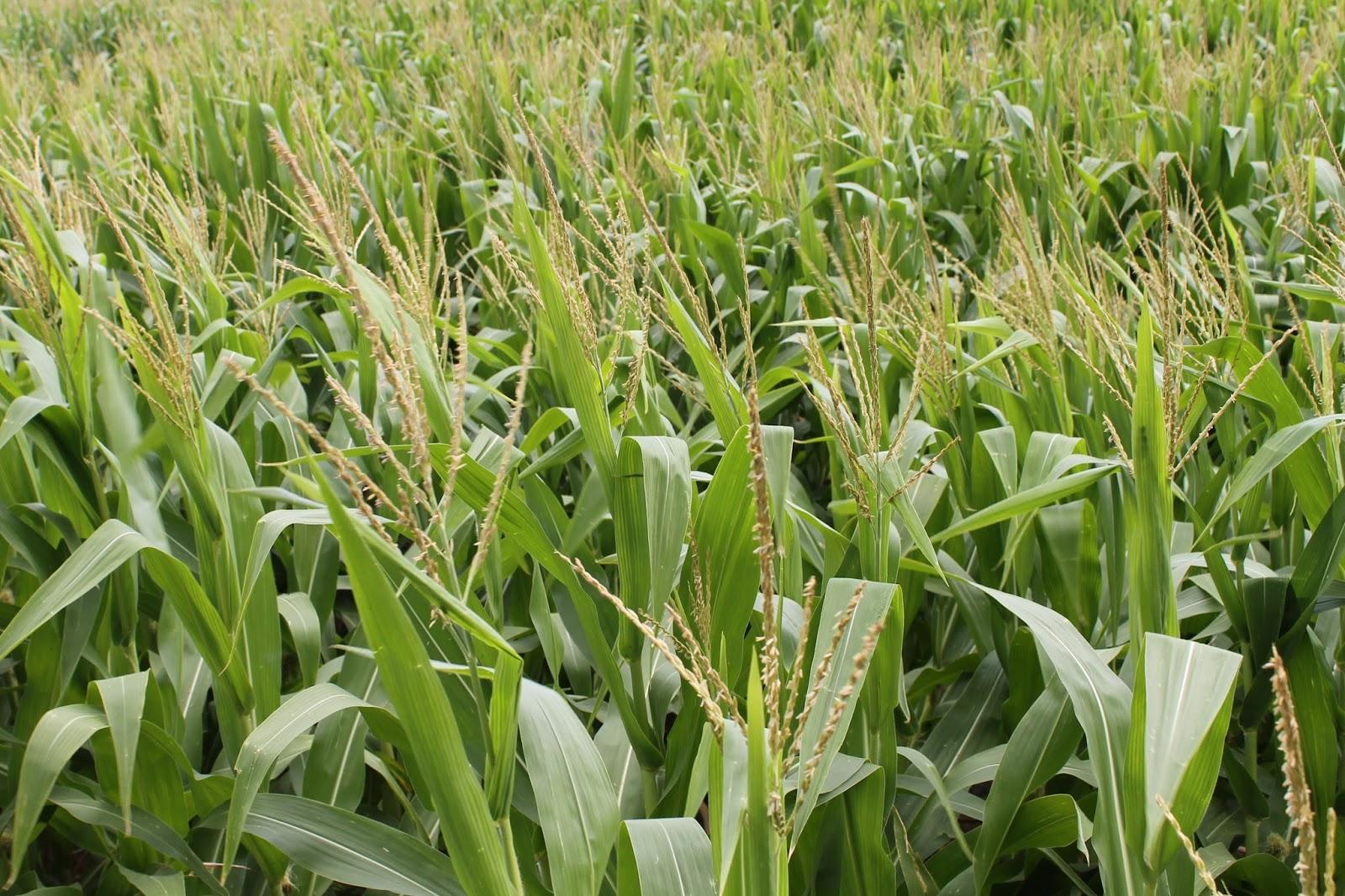 sweet-corn-syracuse-ny